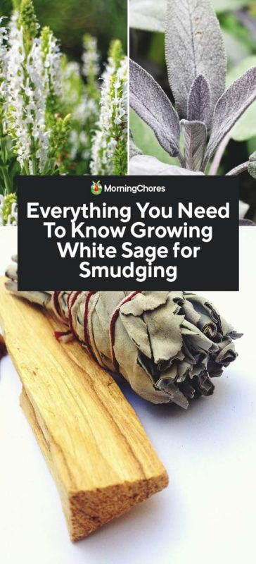 Everything You Need To Know Growing White Sage for Smudging