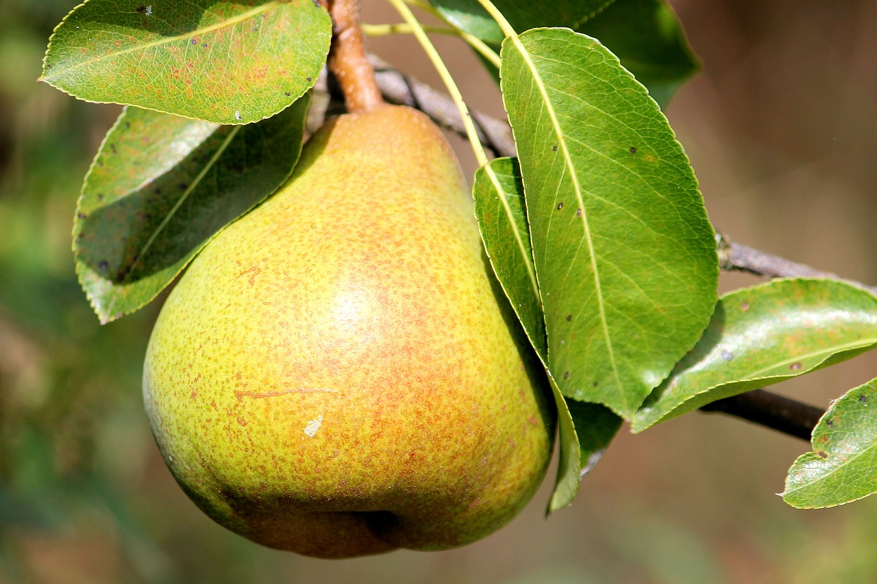Pear trees are prone to biennial bearing