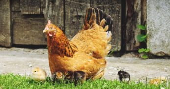 Broody Hens: Causes, Breeds, and How to Take Care of Them