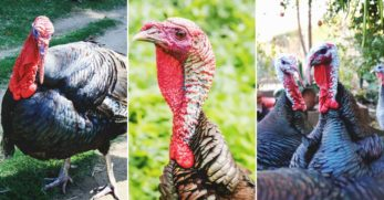 9 Reasons Why Raising Turkeys Might Not Be Right For Some