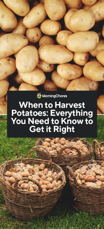 When to Harvest Potatoes to Get the Best Results