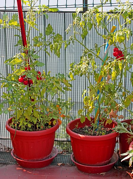 how to care for cherry tomato plants in pots