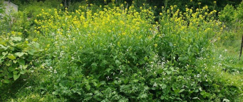 allelopathic plants