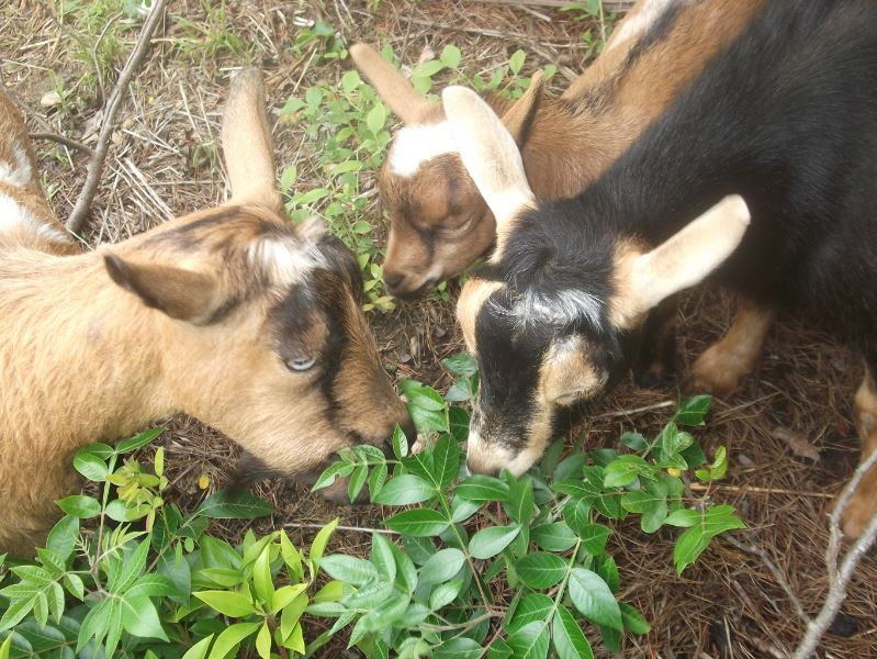 goat management includes parasite control and knowing what they should eat and what not