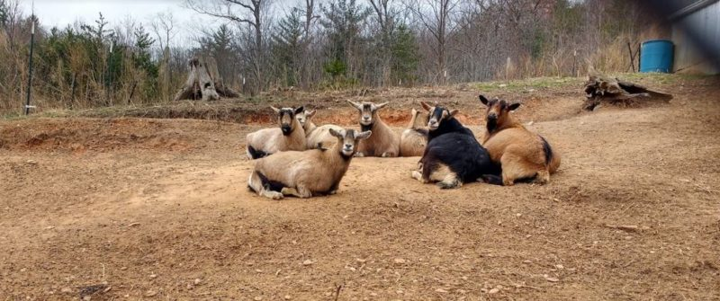 goat management in winter is different than summer herd management