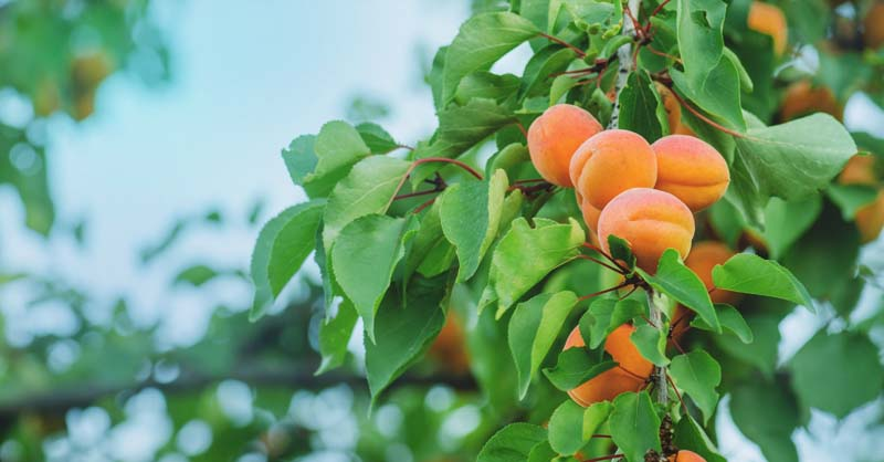 Growing Peaches The Complete Guide To