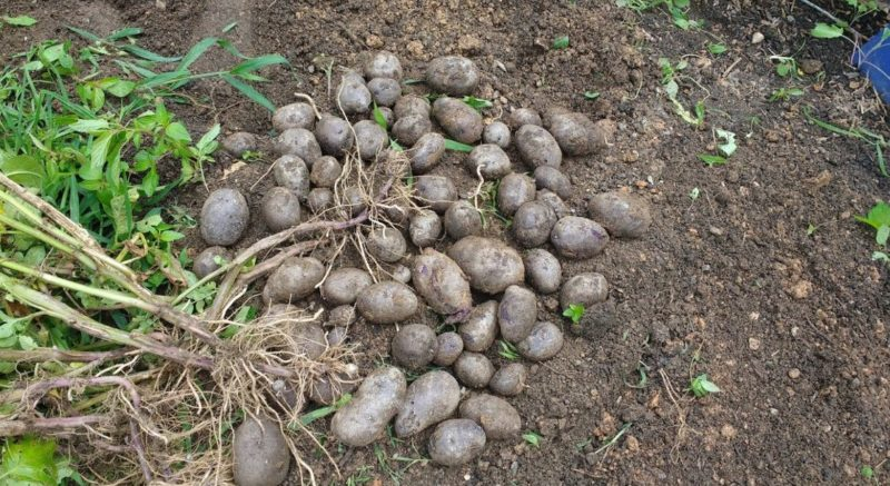 ways to use leaf mold after harvesting potatoes