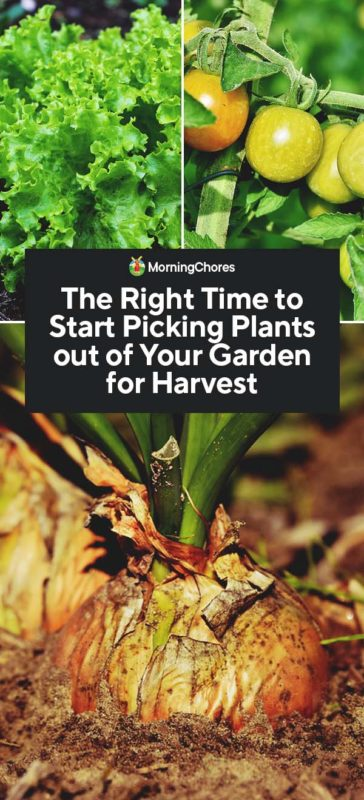 This image has an empty alt attribute; its file name is The-Right-Time-to-Start-Picking-Plants-out-of-Your-Garden-for-Harvest-PIN-364x800.jpg