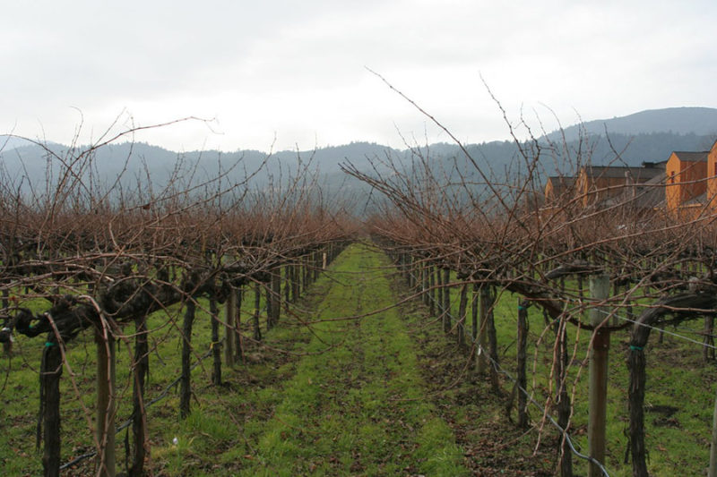 Learn How To Prune Grape Vines For A Fruitful Harvest