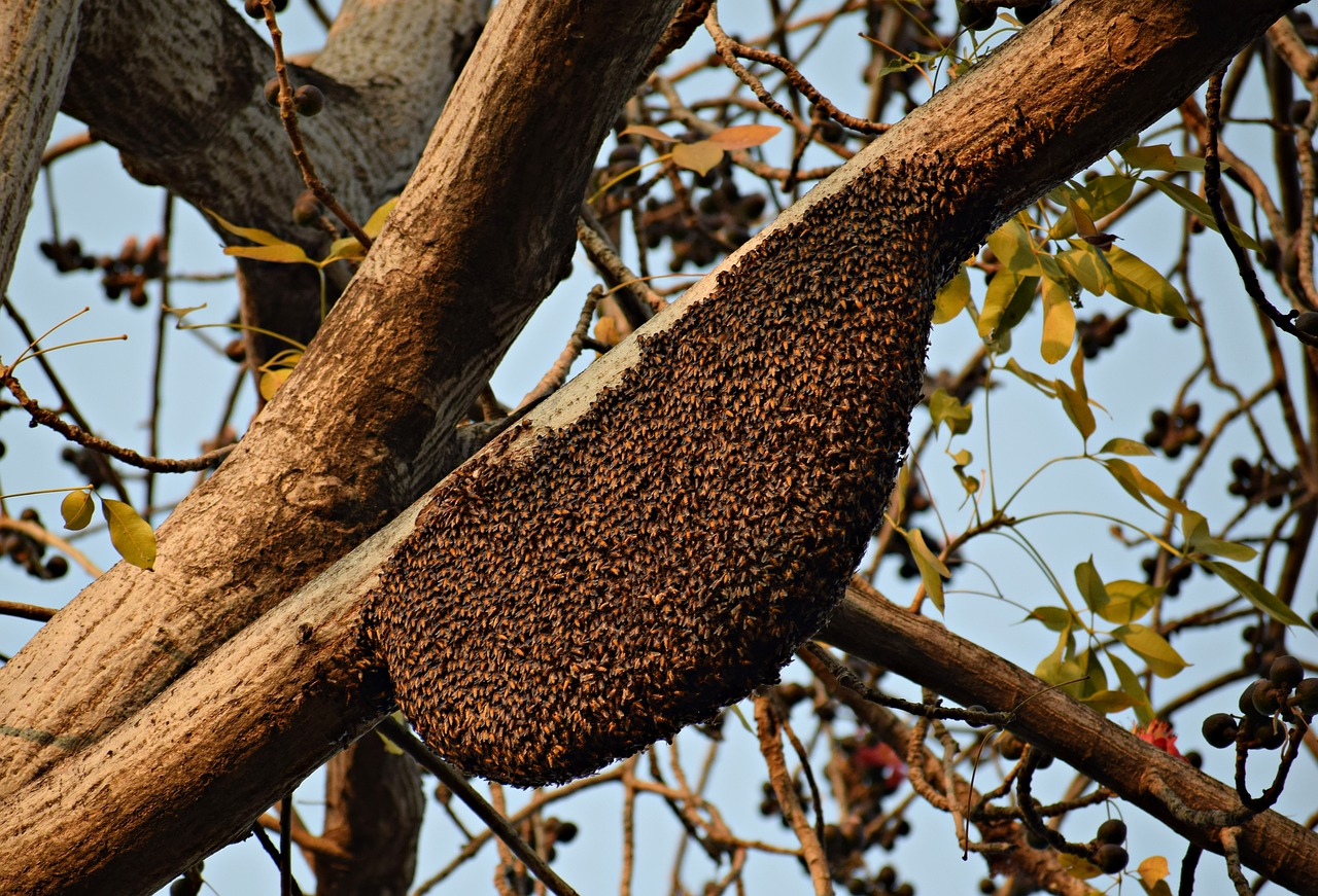 wild honeybees can be captured for getting started with honeybees