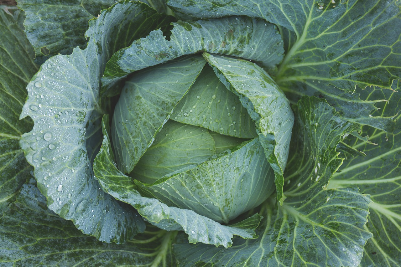 cabbage is excellent for burial food preservation