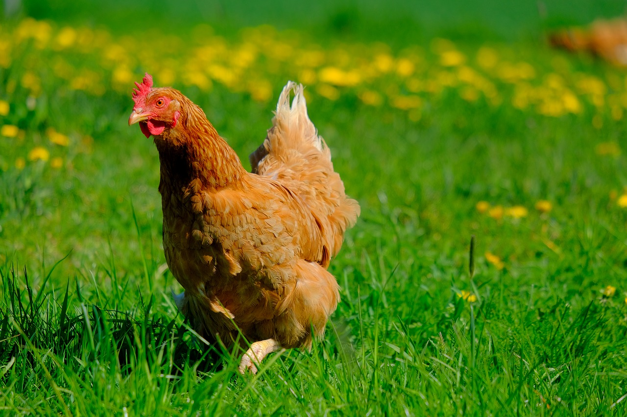 is diatomaceous earth for chickens really beneficial
