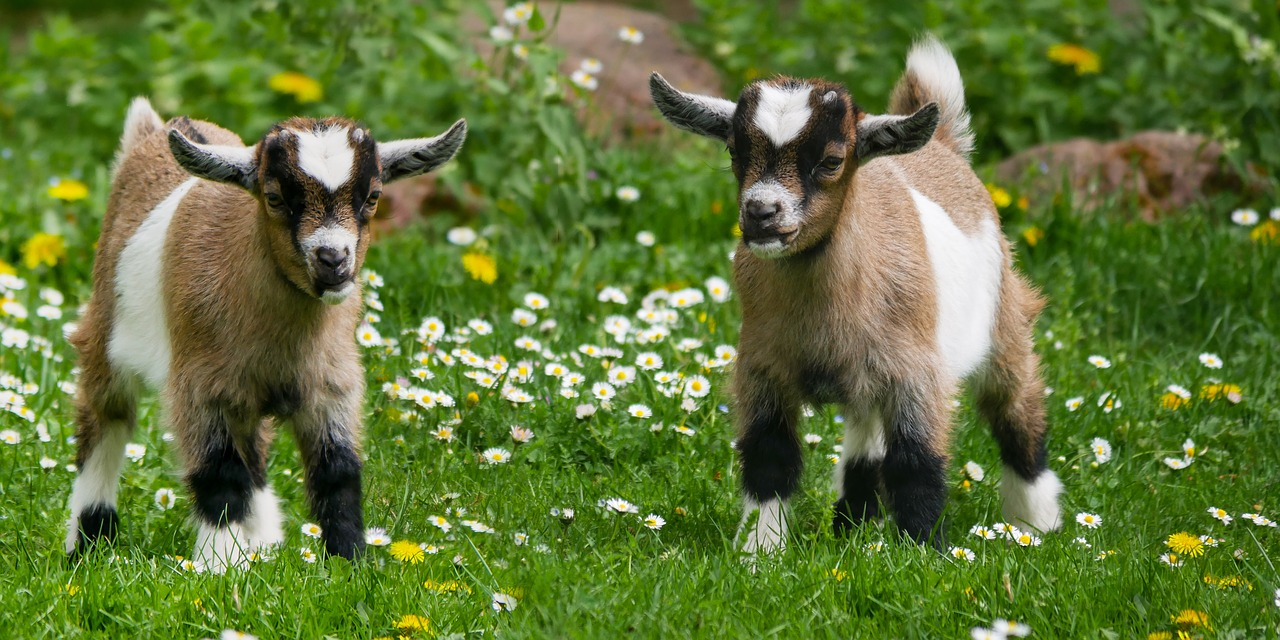 Twins in need of castrating goats