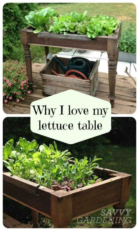lettuce table