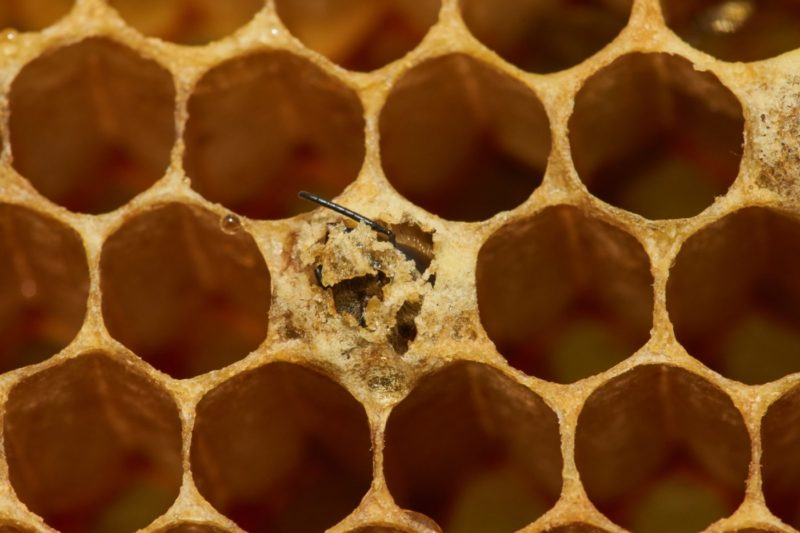 while managing a beehive you may notice these capped cells.