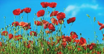 Growing Poppies for Decorative Seed Pods, Spice, and Beauty
