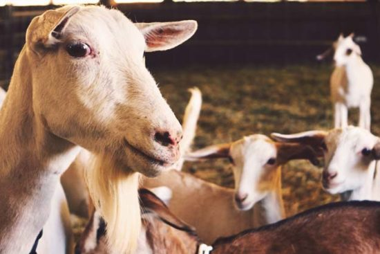 23 Reasons Why You Should Raise Goats in Your Homestead