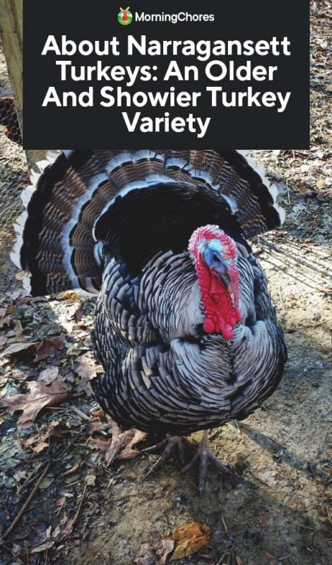 This image has an empty alt attribute; its file name is About-Narragansett-Turkeys-An-Older-And-Showier-Turkey-Variety-PIN-470x800.jpg