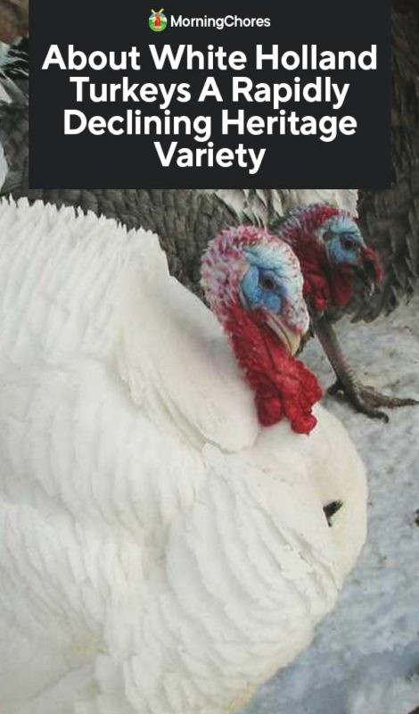 This image has an empty alt attribute; its file name is About-White-Holland-Turkeys-A-Rapidly-Declining-Heritage-Variety-PIN-470x800.jpg