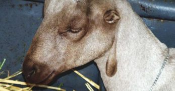 American Lamancha Goats: Breed Info, Characteristics, Breeding, and Care