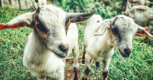 Basic Goat Care Management Responsibilities for New Goat Herd Owners