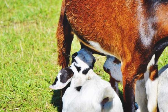 Beginner's Guide to Raising Goats for Milk Production