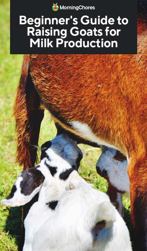 This image has an empty alt attribute; its file name is Beginners-Guide-to-Raising-Goats-for-Milk-Production-PIN-470x800.jpg