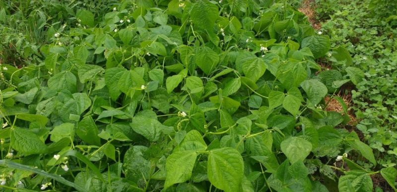 Legumes make good hot weather cover crops