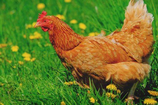 Does Diatomaceous Earth Really Benefit Chickens?