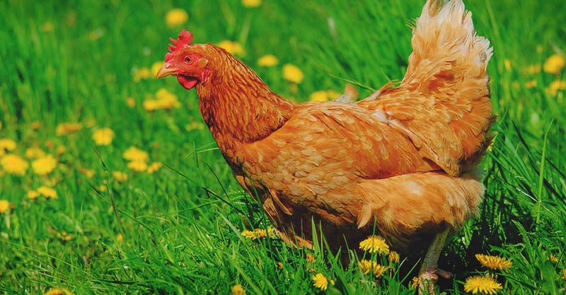 Does Diatomaceous Earth Really Benefit Chickens