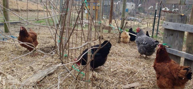 a minimalist homesteader realizes that only a few chickens are more than enough