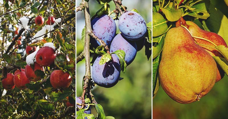 Find The Right Fruit Tree For Your Growing Zone