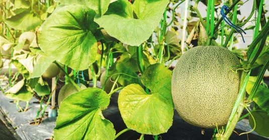 Growing Cantaloupe: The Complete Guide to Plant, Care, and Harvest Cantaloupe