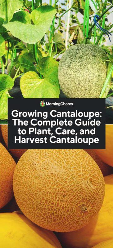 Growing Cantaloupe The Complete Guide To Plant Care And Harvest Cantaloupe Companion plants for cantaloupe include corn, pumpkin, squash, collards, borage, oregano, radishes, marigolds, petunias and beans. growing cantaloupe the complete guide