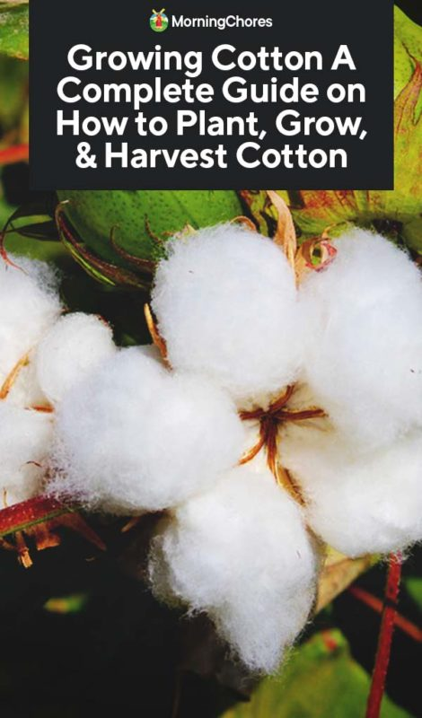 This image has an empty alt attribute; its file name is Growing-Cotton-A-Complete-Guide-on-How-to-Plant-Grow-Harvest-Cotton-PIN-470x800.jpg