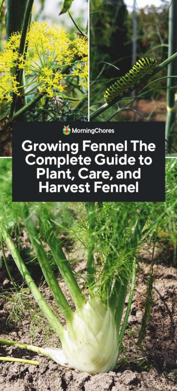 This image has an empty alt attribute; its file name is Growing-Fennel-The-Complete-Guide-to-Plant-Care-and-Harvest-Fennel-PIN-364x800.jpg