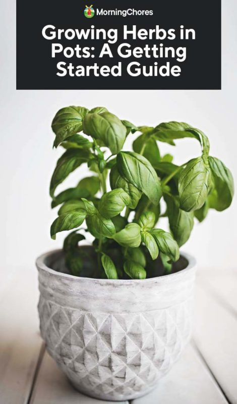 Growing Herbs in Pots: A Getting Started Guide