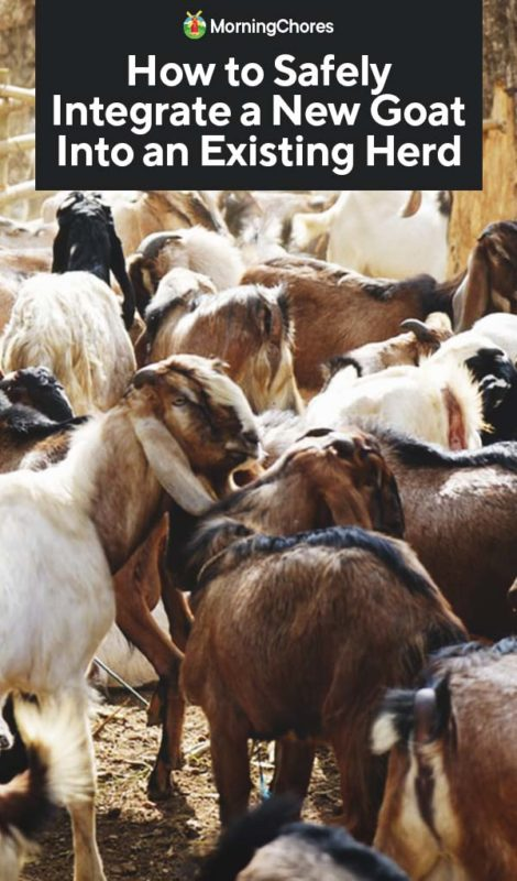 This image has an empty alt attribute; its file name is How-to-Safely-Integrate-a-New-Goat-Into-an-Existing-Herd-PIN-470x800.jpg