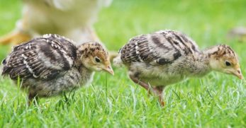 The Benefits and Concerns of Raising Turkey Poults with Chickens