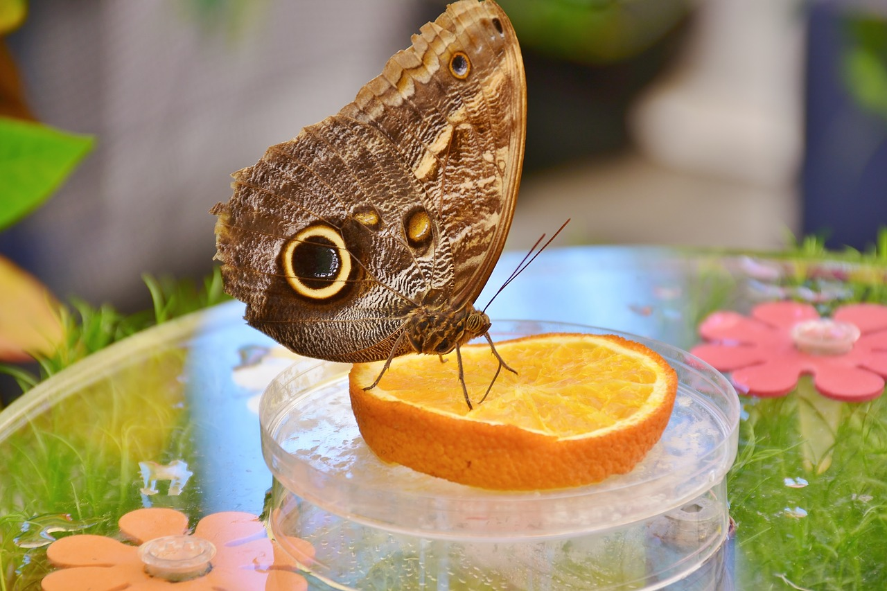 what do butterflies eat - oranges