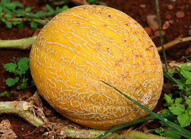 Growing Cantaloupe The Complete Guide To Plant Care And Harvest Cantaloupe A variety of muskmelon showing page 1. growing cantaloupe the complete guide