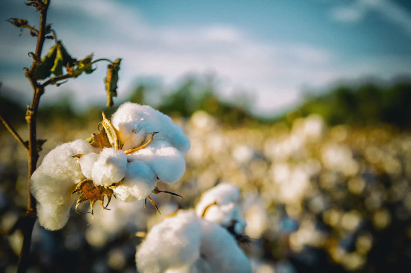 Growing Cotton A Complete Guide On How To Plant Grow Harvest Cotton
