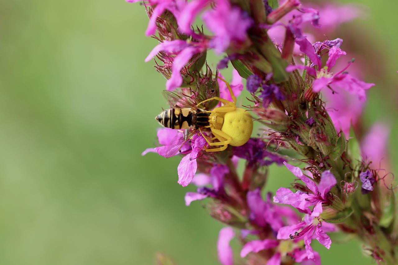 Crab spider eating a honey bee