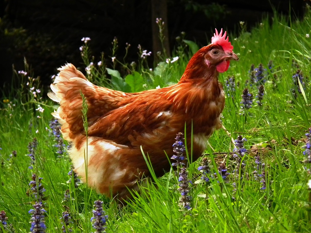 using herbs as chicken fodder is also an idea