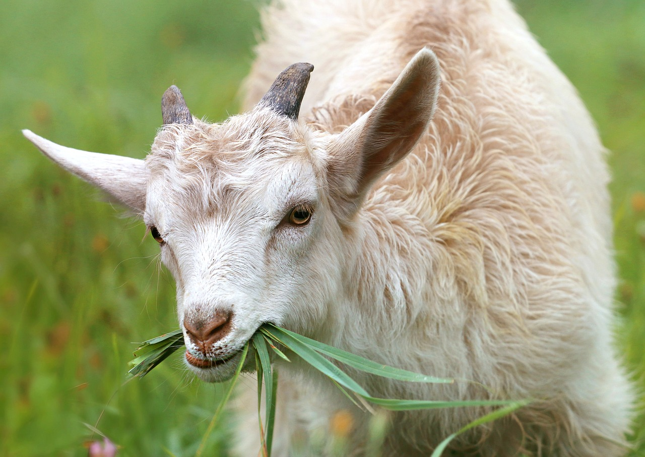 Uses for goats include mowing the lawn