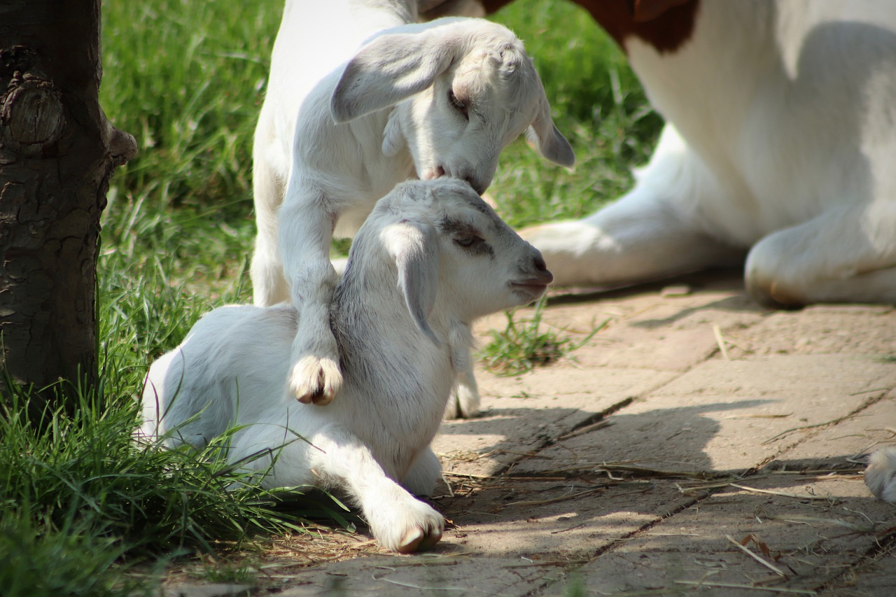 To confine goats kids is another story, as the babies can be small and very inquisitive.