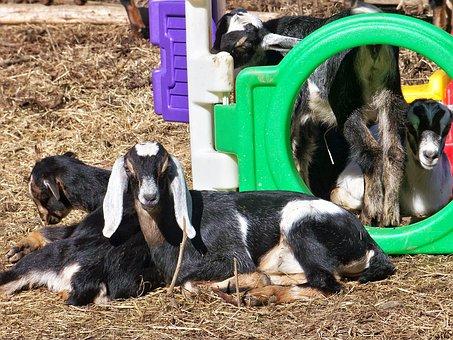 Young Nubian Goats