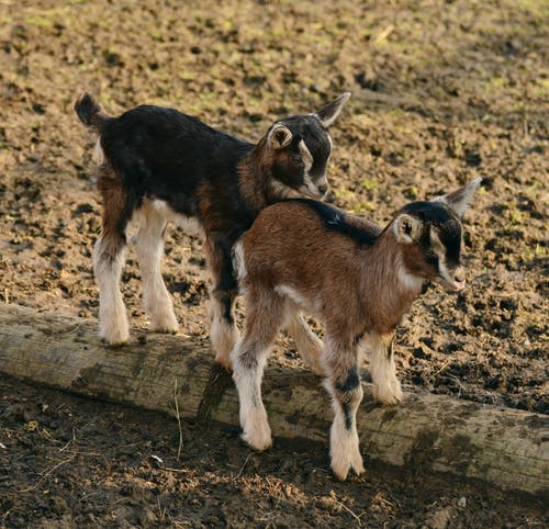 kids are susceptible to goat internal parasites