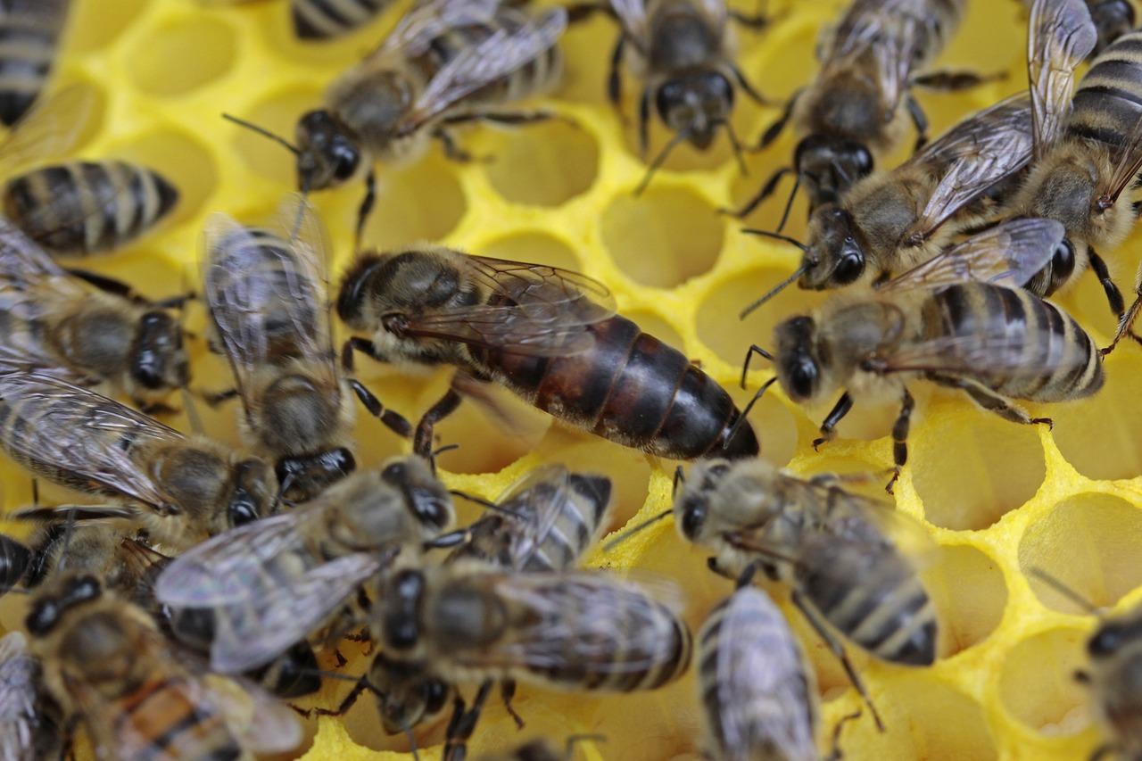rearing queen bees