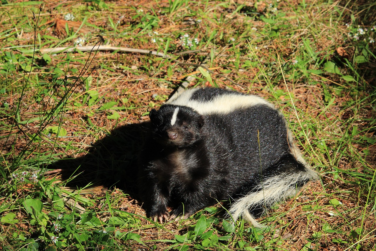 A skunk is also a bee predator